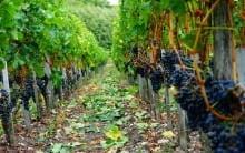 Vignobles Pere-Verge
